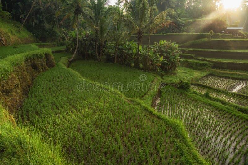 Rice tarasuje w Tegallalang, Ubud, Bali, Indonezja uprawa, gospodarstwo rolne, obrazy royalty free