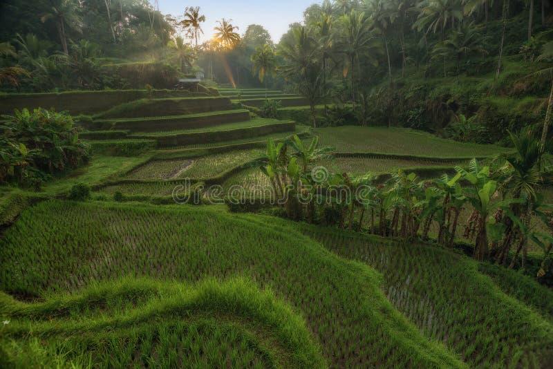 Rice tarasuje w Tegallalang, Ubud, Bali, Indonezja uprawa, gospodarstwo rolne, obraz royalty free