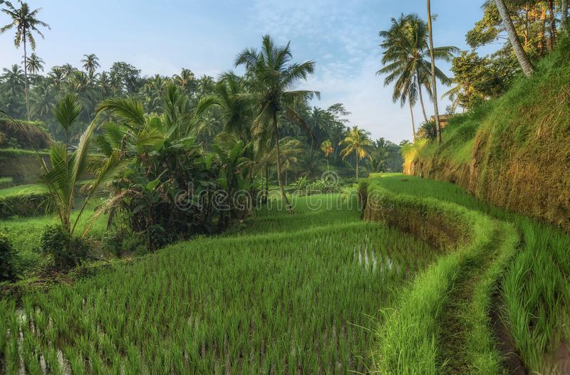 Rice tarasuje w Tegallalang, Ubud, Bali, Indonezja uprawa, gospodarstwo rolne, fotografia stock