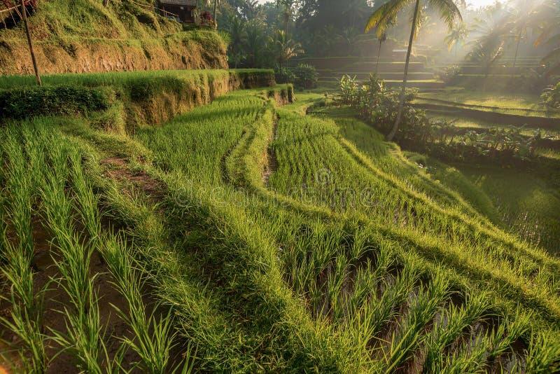 Rice tarasuje w Tegallalang, Ubud, Bali, Indonezja uprawa, gospodarstwo rolne, obrazy stock