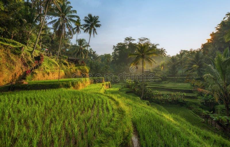 Rice tarasuje w Tegallalang, Ubud, Bali, Indonezja uprawa, gospodarstwo rolne, zdjęcie royalty free