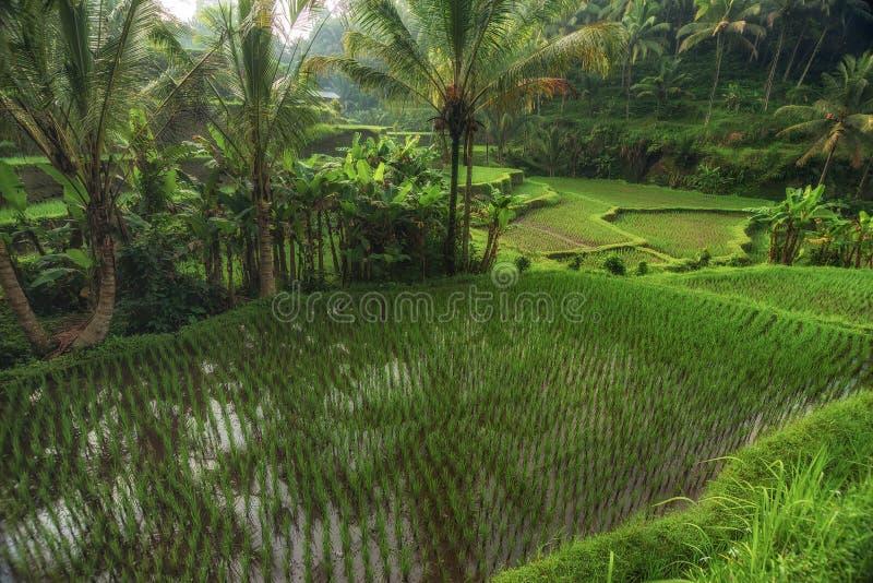 Rice tarasuje w Tegallalang, Ubud, Bali, Indonezja uprawa, gospodarstwo rolne, zdjęcia stock
