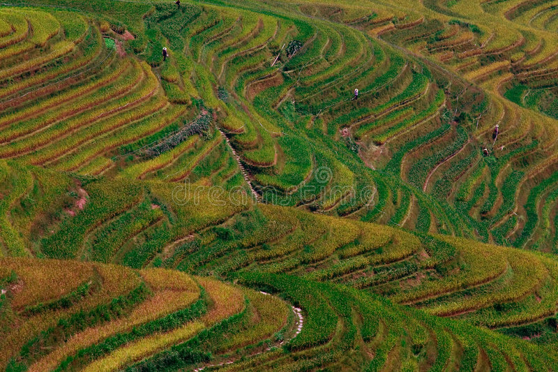 Rice terrace stock image