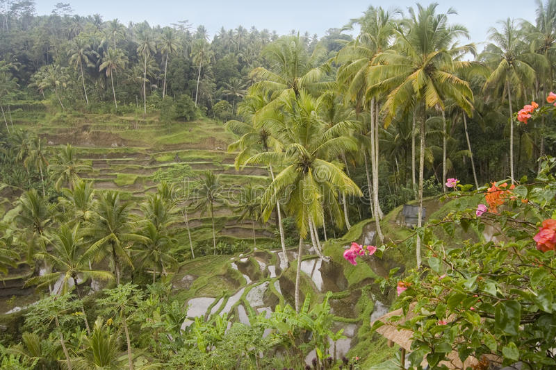 Download Rice terrace in Bali stock photo. Image of culture, nature - 27910886