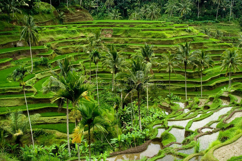 Rice terrace in Bali. Green rice terraces in Bali, Indonesia stock images