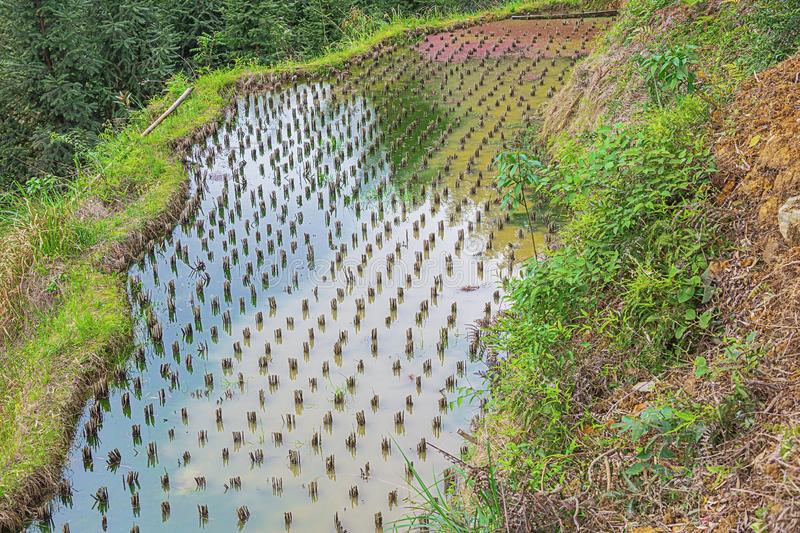 Rice terrace with different colors at Ping`ancun village royalty free stock photos