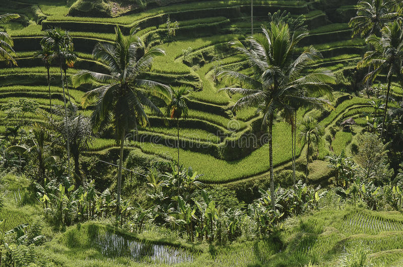 Rice terrace with palm trees stock photography