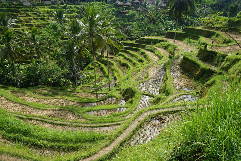 rice terraced field stock photography