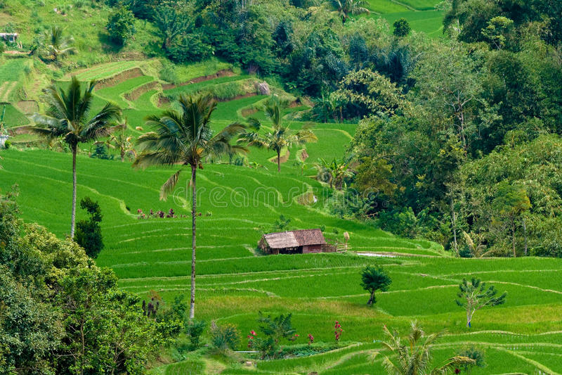 Rice Terraces in Bali royalty free stock photo