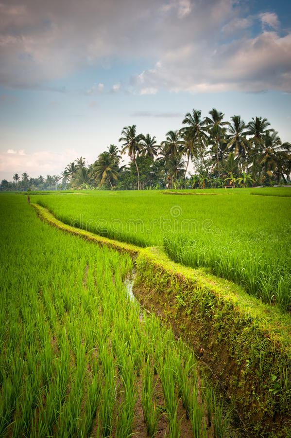 Rice terraces of bali, indonesia royalty free stock image