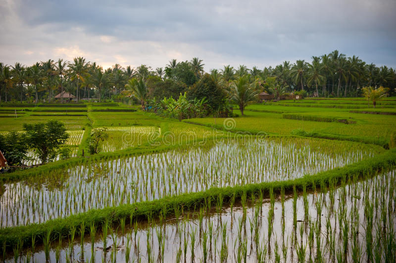 Download Rice Terraces Of Bali, Indonesia Royalty Free Stock Photos - Image: 17823028