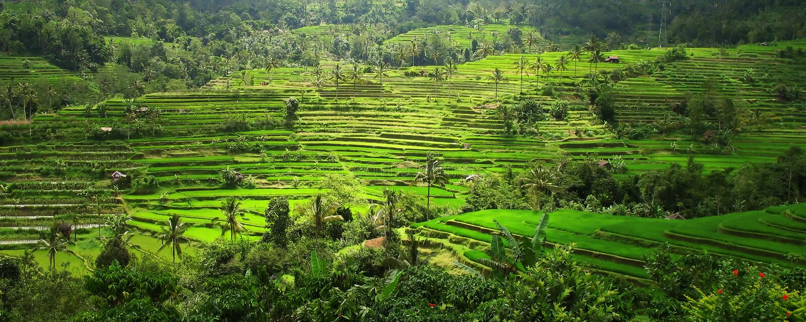 Rice Terraces, Bali, Indonesia. Vista view of rice terraces in Bali, Indonesia royalty free stock photos