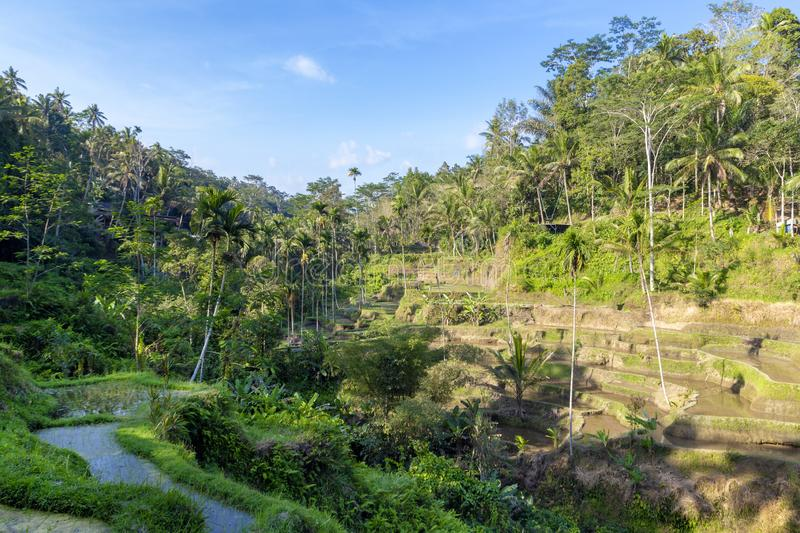 Rice Terraces, Bali. Indonesia. Green cascade rice field plantation. royalty free stock photo