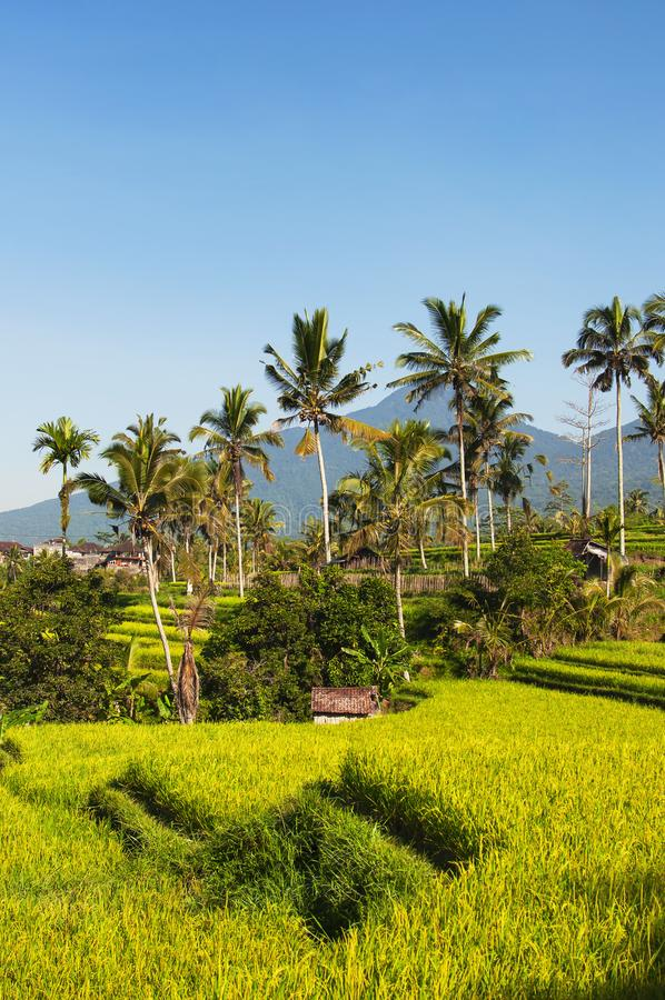 Rice terraces and blue sky, Ubud, Bali, Indonesia. Beautiful green young rice fields, natural tropical background. Rice stock photo