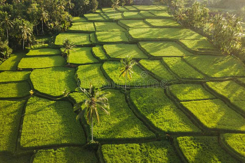 Rice terraces Tegallalang in Ubud at sunrise. Rice terraces hill in Ubud at sunrise, Bali Indonesia. Beautiful sun light and rays on field stock photo