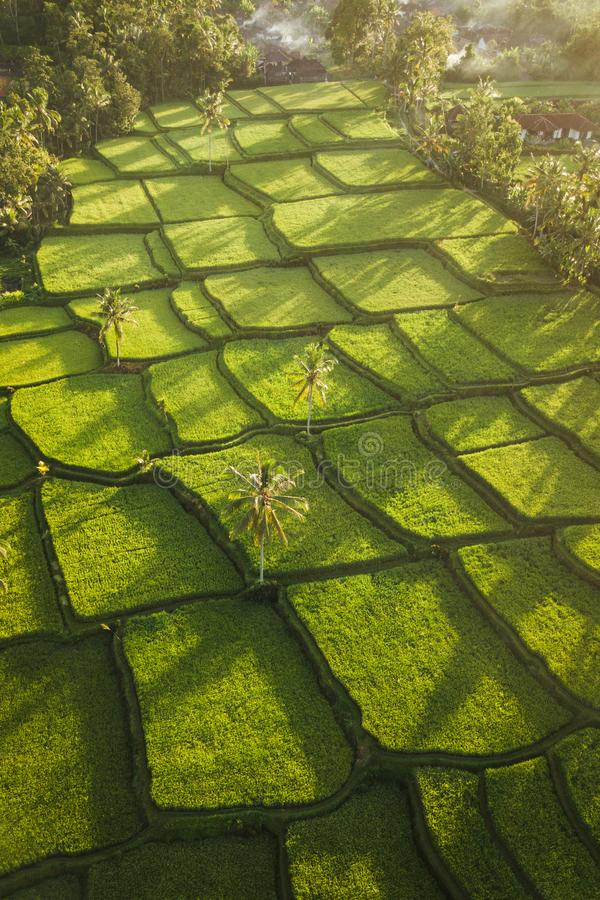 Rice terraces Tegallalang in Ubud at sunrise. Rice terraces hill in Ubud at sunrise, Bali Indonesia. Beautiful sun light and rays on field stock photos