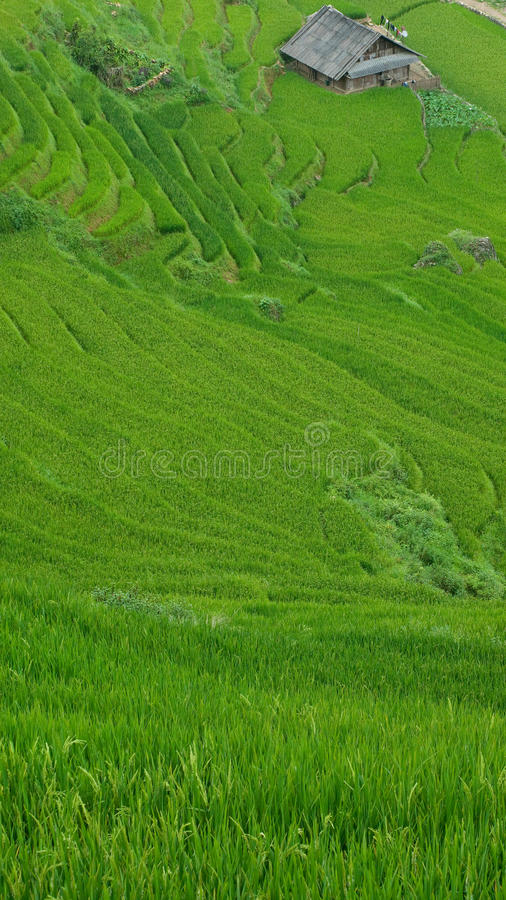 Download Rice Terraces In Sapa Valley, Vietnam Royalty Free Stock Photos - Image: 21647298