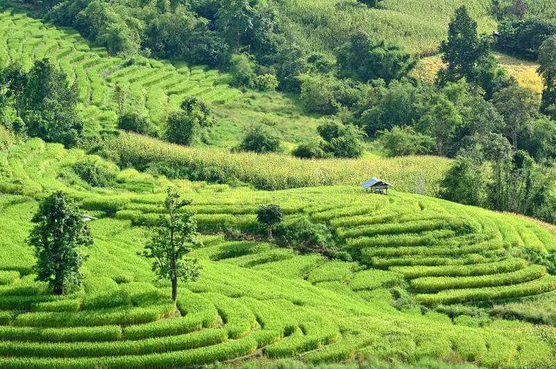 Rice terraces in Thailand. The beautiful paddy rice field in Thailand stock photos