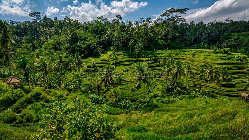 Tegalalang Rice terraces Ubud Bali stock image