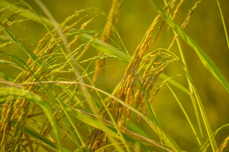 Rice Thailand. Rice plays a key role in many societies, from Thailand as to the task.Rice is a staple food and as a source of nutrition for the citizens of royalty free stock photos