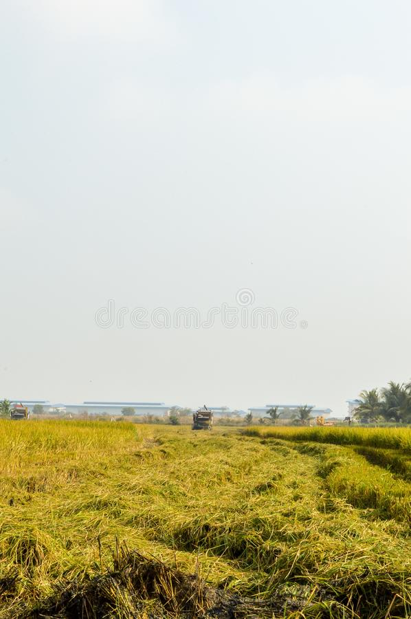 Rice tree in green field. In country Thailand royalty free stock photos