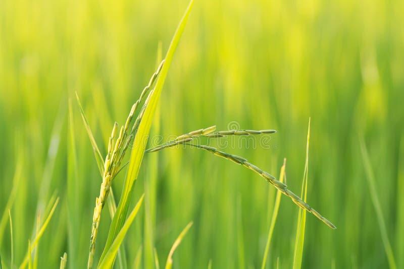 Rice z wieczór słońcem obraz royalty free