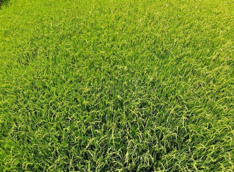 Rice zieleni pole z wiatrem przy Tajlandia rolnictwa gospodarstwa rolnego pięknym odgórnym widokiem w lato sezonie trutniem obraz stock