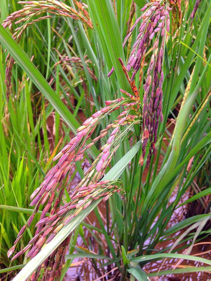 Riceberry стоковые фото