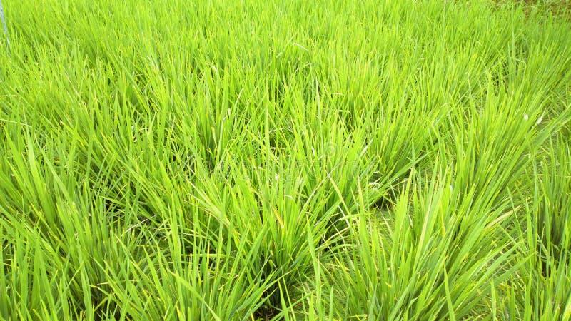 Ricefält arkivbilder