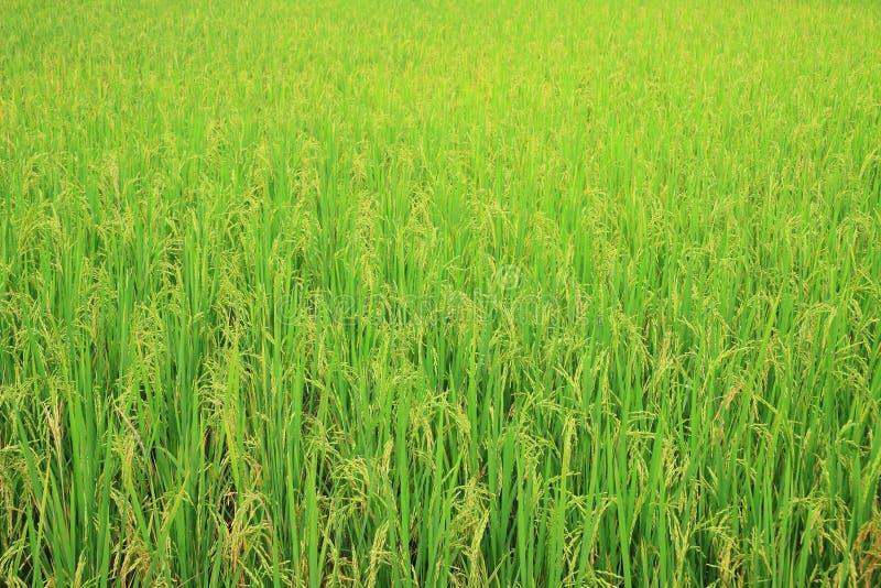 Download Ricefält med ricepanicle fotografering för bildbyråer. Bild av rått - 27287391