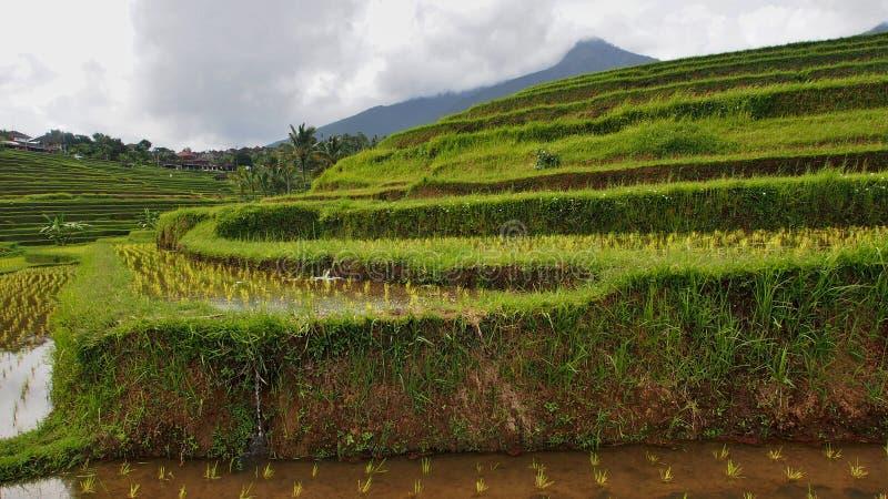 Ricefield в Бали стоковое изображение