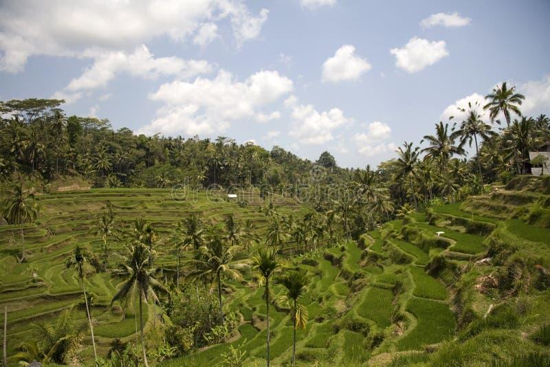 Ricefield 1. Ricefield near Ubud, Bali, Indonesia royalty free stock photos