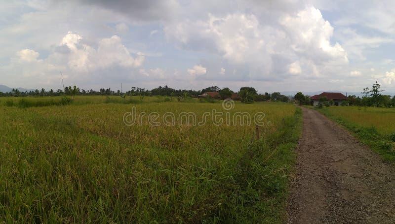Ricefield lizenzfreies stockfoto