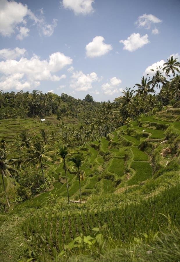 Ricefield 2. Ricefield near Ubud, Bali, Indonesia stock photography