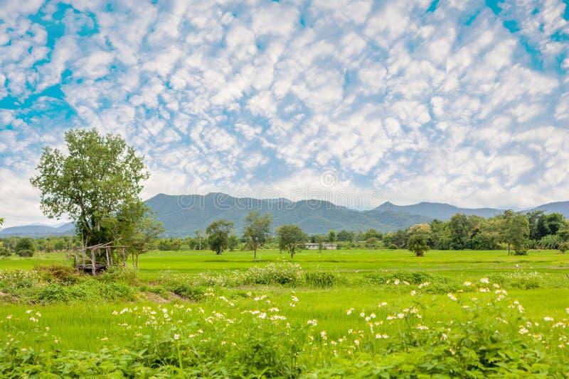 Ricefield стоковое изображение