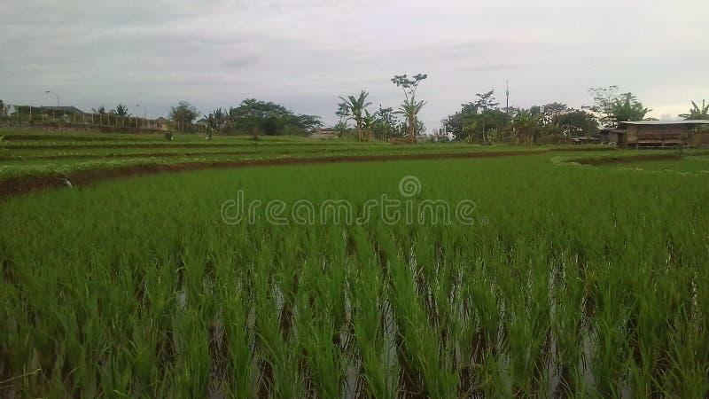 Ricefield foto de archivo