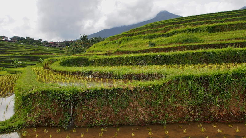 Ricefield in Bali stock afbeelding