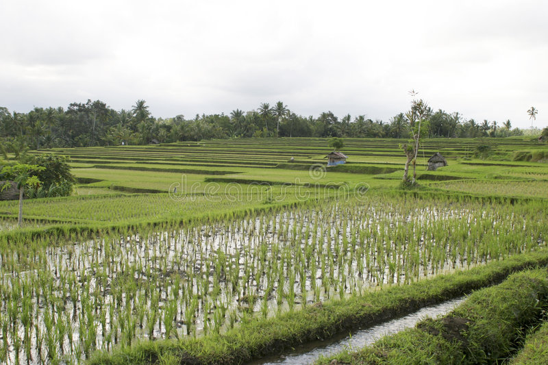 Download Ricefield bali стоковое изображение. изображение насчитывающей вода - 85685