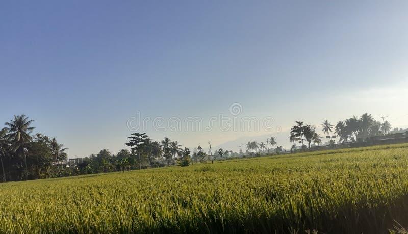 Ricefield στοκ εικόνες με δικαίωμα ελεύθερης χρήσης