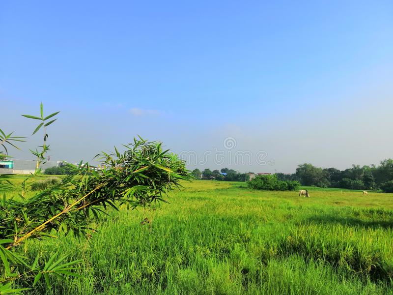 Ricefield. Farm ricefield bamboo stock photography