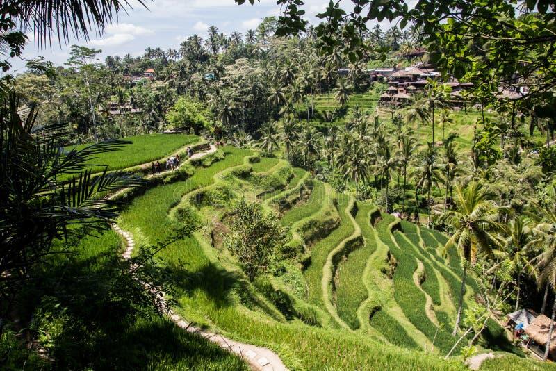 Ricefield hermoso en Bali central, maravilla del pueblo de Ubud imagen de archivo libre de regalías