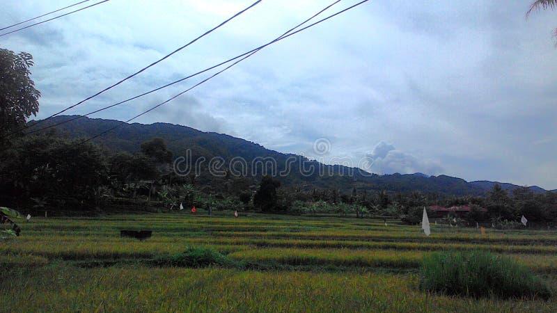 Ricefield indonesio foto de archivo libre de regalías
