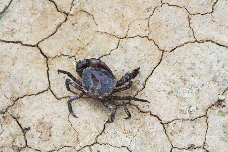 Ricefield-Krabben, die aus den Grund gehen stockfotografie