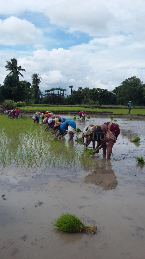 The ricefield stock photography