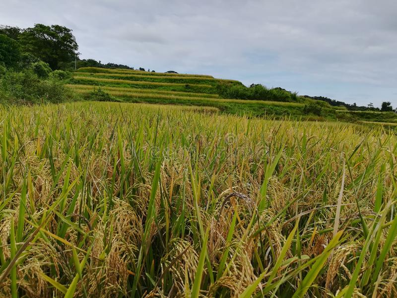 Ricefield. Greenery, nature, underthesun royalty free stock photography
