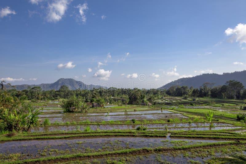 Ricefield tropical no norte de Bali, Indonésia fotografia de stock