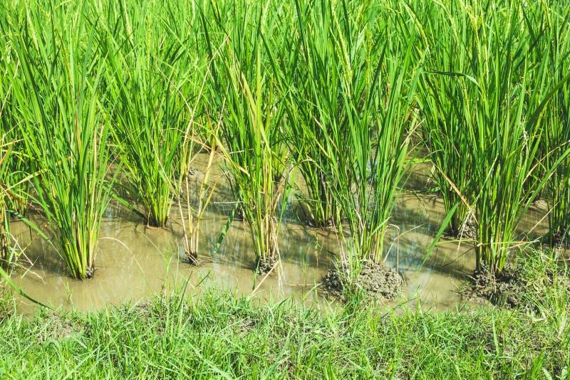 Ricefield verde imágenes de archivo libres de regalías