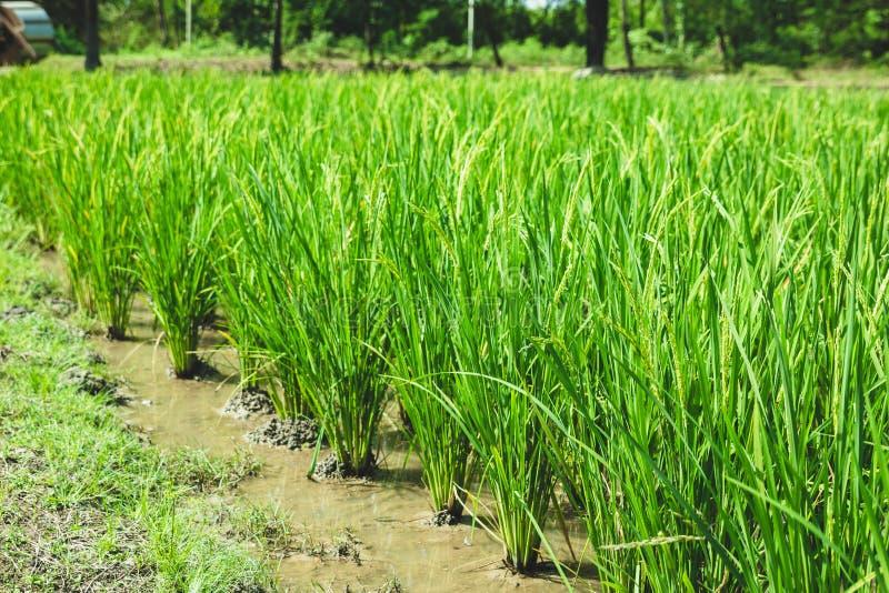Ricefield verde fotos de archivo