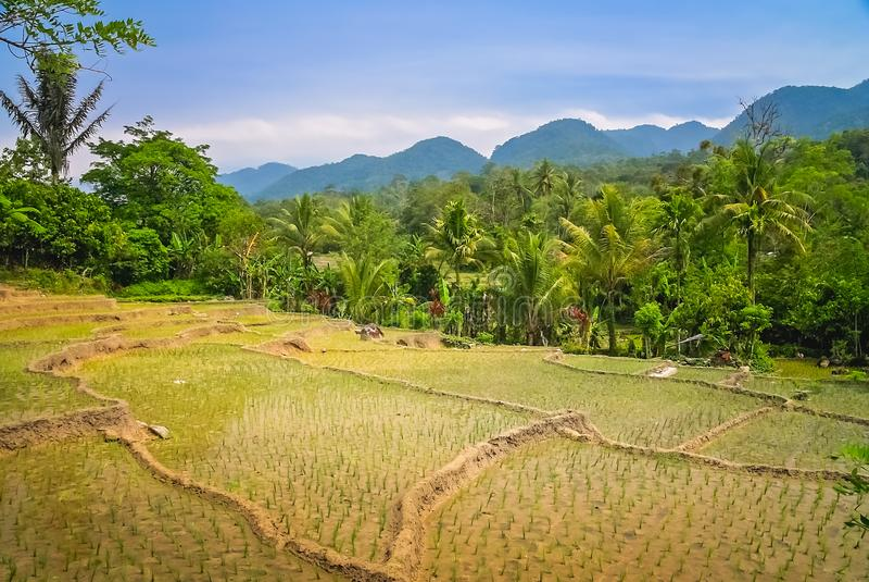 Ricefields av Sumatra fotografering för bildbyråer