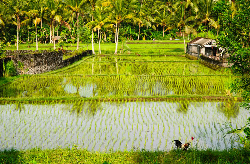 Ricefields in Bali fotografia stock